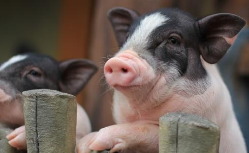 生猪期货的开户条件及交易成本