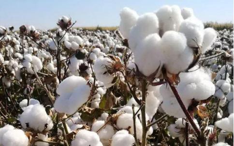 棉花的传奇人生,棉花期货的光明!