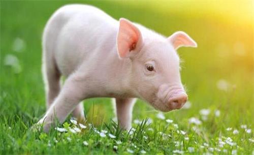 生猪期货合约介绍及生猪开户方法