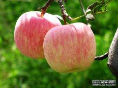 苹果下跌是库存压力显现?铁矿螺纹