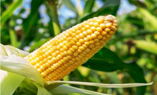 玉米期货行情涨跌的原因?行情分析的方